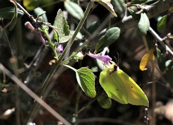 Scutellaria brevibracteata Stapf.