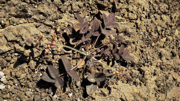 כרבולת אדומית Onobrychis ptolemaica (Delile) DC.