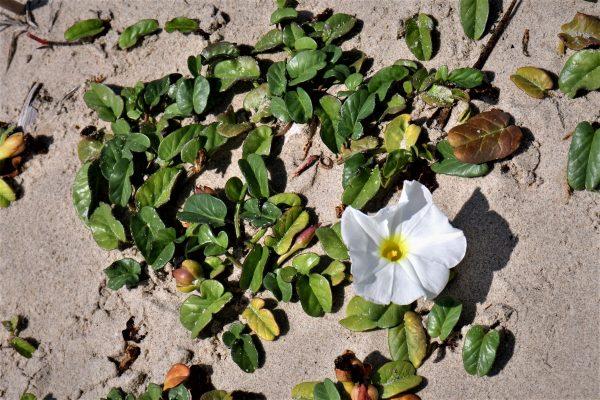 לפופית החוף Ipomoea imperati (Vahl) Griseb.