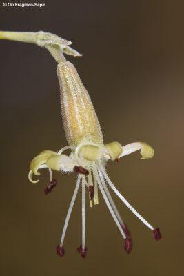 Silene marschallii C.A.Mey