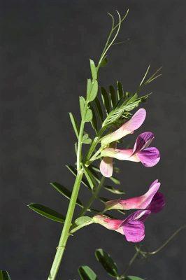 Vicia esdraelonensis Warb. & Eig