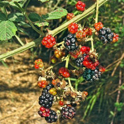 Rubus sanctus Schreb.