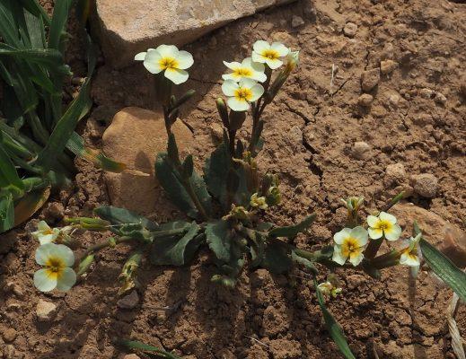 מלקולמייה צהובה Malcolmia exacoides (DC.) Spreng.