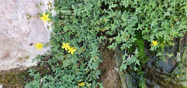 Hypericum sinaicum Hochst. ex Boiss.