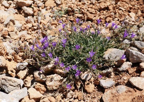 Campanula stricta L. var. libanotica (DC.) Boiss.