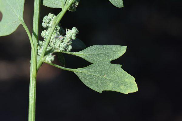 כף-אווז לבנה Chenopodium album L.