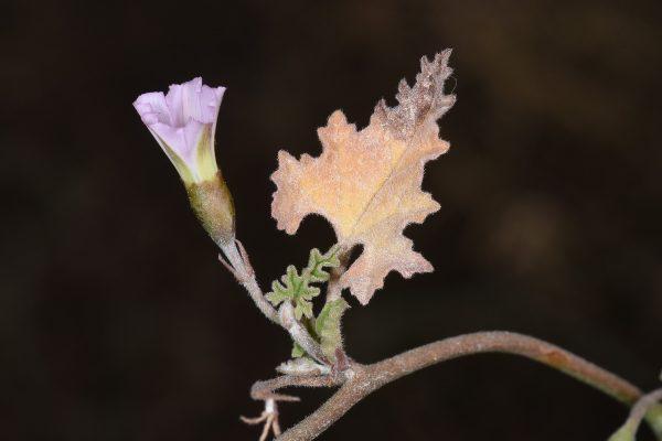 חבלבל מצרי Convolvulus fatmensis G.Kunze
