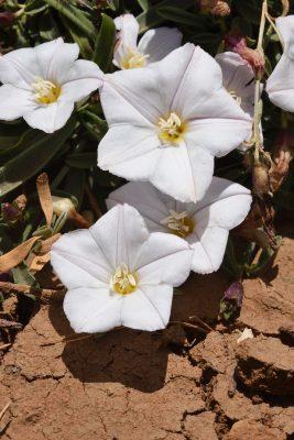 Convolvulus libanoticus Boiss.