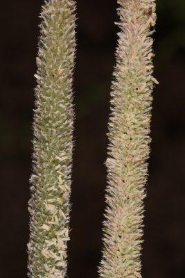 עטיינית דקה Crypsis alopecuroides (Piller & Mitterpol) Schrad.