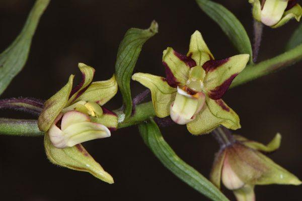 Epipactis veratrifolia Boiss. & Hohen.