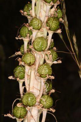 Eremurus spectabilis M.Bieb.