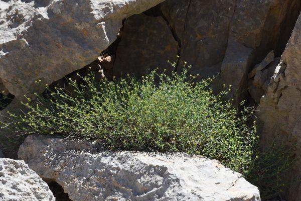 Euphorbia erinacea Boiss. & Kotschy