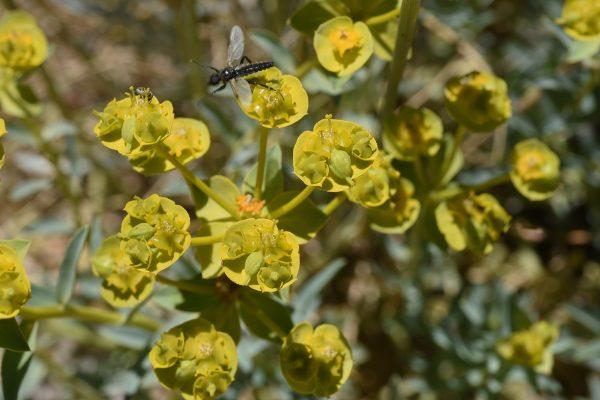 Euphorbia cheiradenia Boiss. & Hohen.