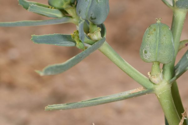 Euphorbia grossheimii (Prokh.) Prokh.
