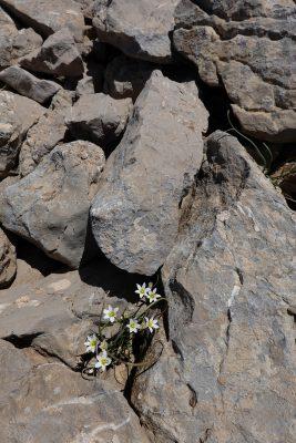 זהבית אדמדמת Gagea libanotica (Hochst.) Greuter
