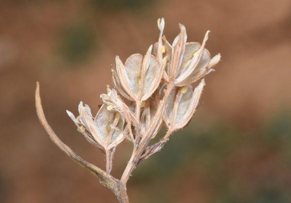 זהבית שעירה Gagea villosa (M.Bieb.) Duby