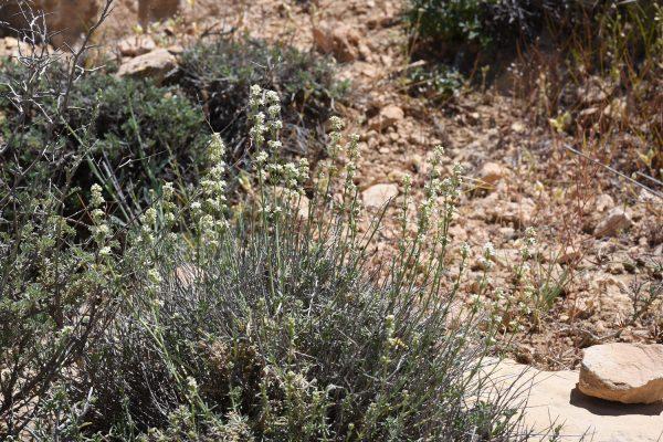 Galium incanum Sm.