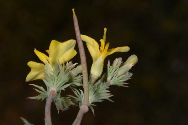 מגלית מצרית Hypecoum aegyptiacum (Forssk.) Asch. & Schweinf.