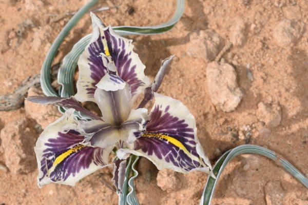 אירוס אדומי Iris edomensis Sealy