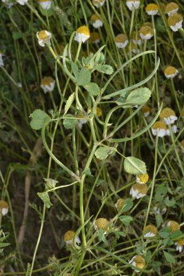 Medicago monantha (C.A.Mey.) Trautv.