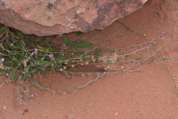 Microparacaryum intermedium (Fresen.) Hilger & Podlech