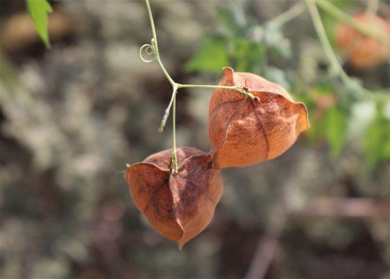 ליבן משולש Cardiospermum halicacabum L.