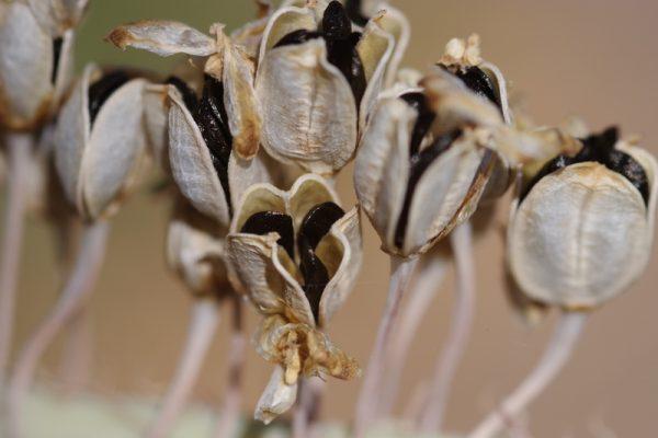 Drimia aphylla (Forssk.) J. C. Manning & Goldblatt